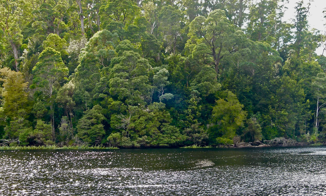 Mixed wet sclerophyll and rainforest along the banks of the Pieman