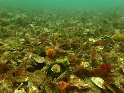 Native Flat Oyster Bed