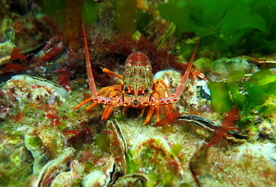 Southern Rock Lobster on Native Flat Oysters