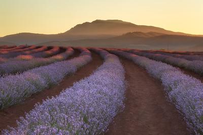 Bridestowe Lavender Estate