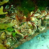 Native Flat Oysters in an Artificial kelp Forest