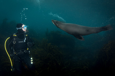 New Zealand Fur Seals in Tasmania