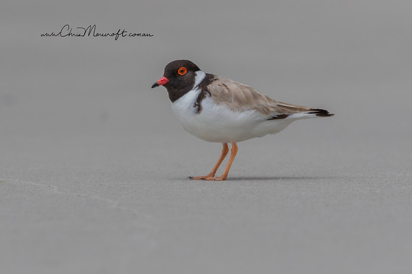 Hooded Plover, Thinorus rubricollis