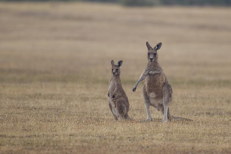 Kænguro