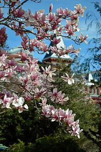 Magnolia trees in full bloom!