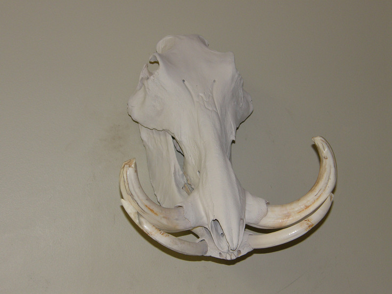 Warthog Skull Mount Anderson Taxidermy & Guide Service, Inc.  www.THEHUNTPRO.com
