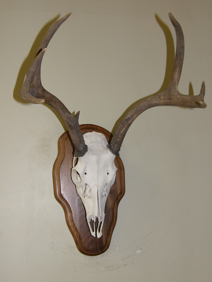 Deer Skull Mount Anderson Taxidermy & Guide Service, Inc.  www.THEHUNTPRO.com