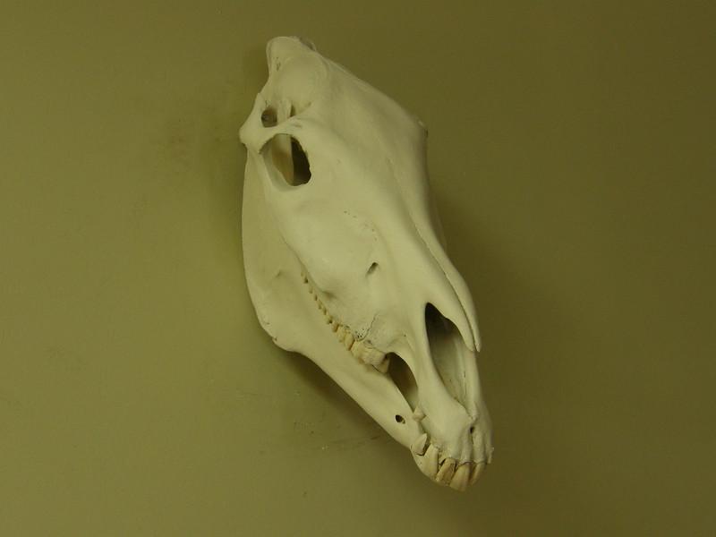 Zebra Skull Mount Anderson Taxidermy & Guide Service, Inc.  www.THEHUNTPRO.com