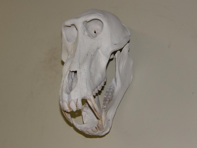 Baboon Skull Mount Anderson Taxidermy & Guide Service, Inc.  www.THEHUNTPRO.com