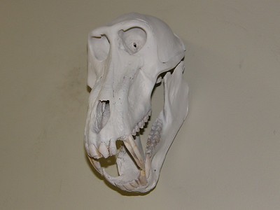 Baboon Skull Mount Anderson Taxidermy & Guide Service, Inc.  www.THEHUNTPRO.com