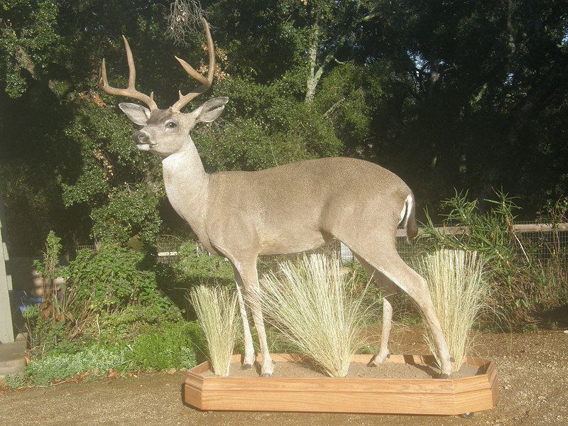 Life-size Blacktail Deer Mount