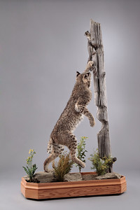 Life-size Bobcat Mount Anderson Taxidermy & Guide Service, Inc.  www.THEHUNTPRO.com