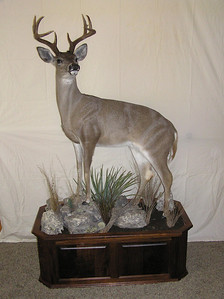 Life-size Coues Deer Mount Anderson Taxidermy & Guide Service, Inc.  www.THEHUNTPRO.com