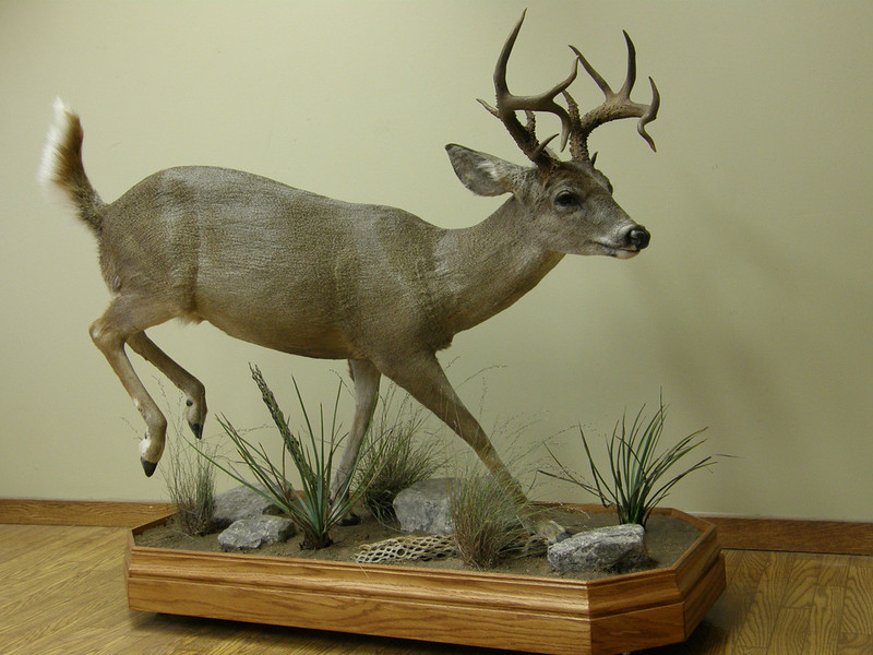 Life-size Coues Deer Mount