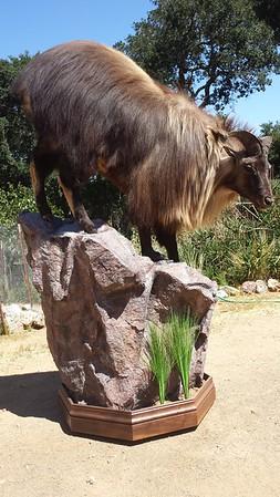 Lifesize Tahr Goat