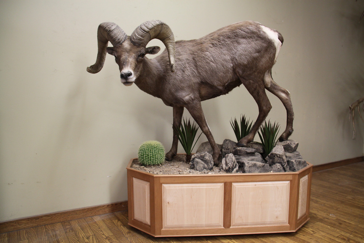 Life-size California Desert Bighorn Sheep Mount Anderson Taxidermy & Guide Service, Inc.  www.THEHUNTPRO.com