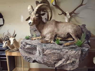 Lifesize Desert Bighorn Sheep