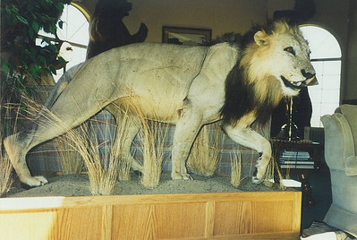 Life-size African Lion Mount Anderson Taxidermy & Guide Service, Inc.  www.THEHUNTPRO.com