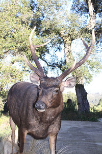 Life-size Sambar Deer Mount Anderson Taxidermy & Guide Service, Inc.  www.THEHUNTPRO.com