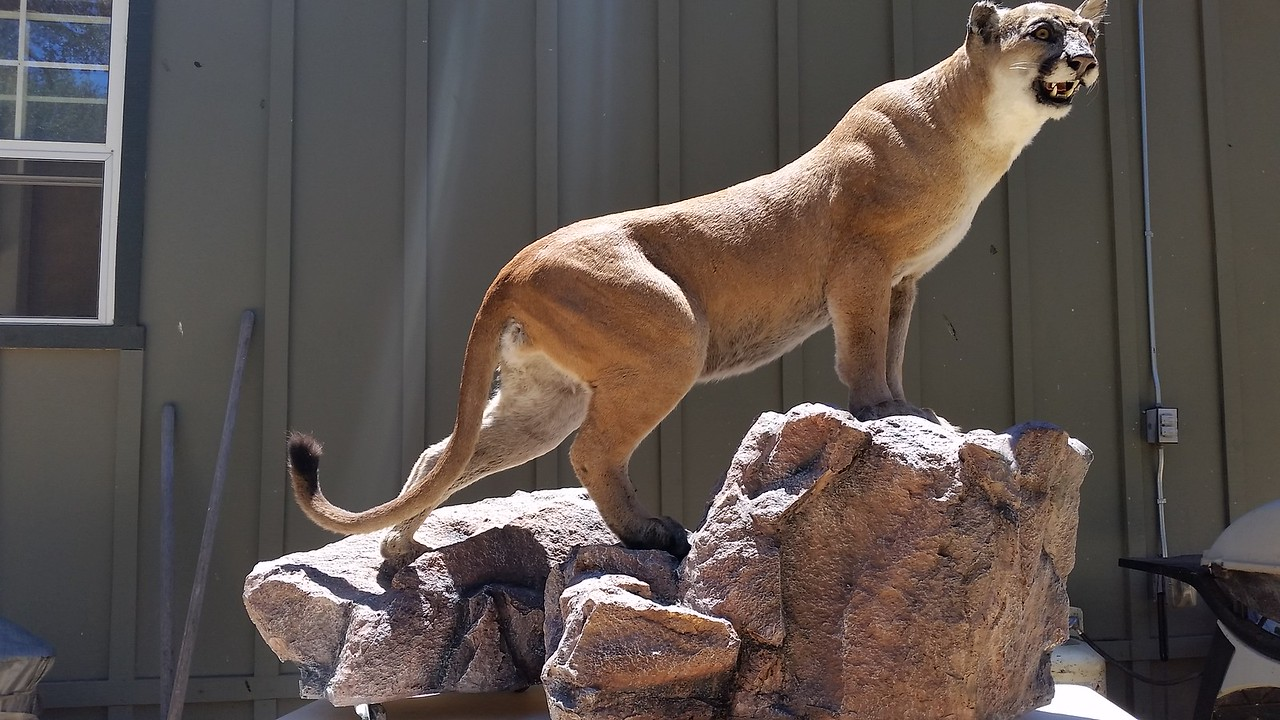 Lifesize Mt. Lion