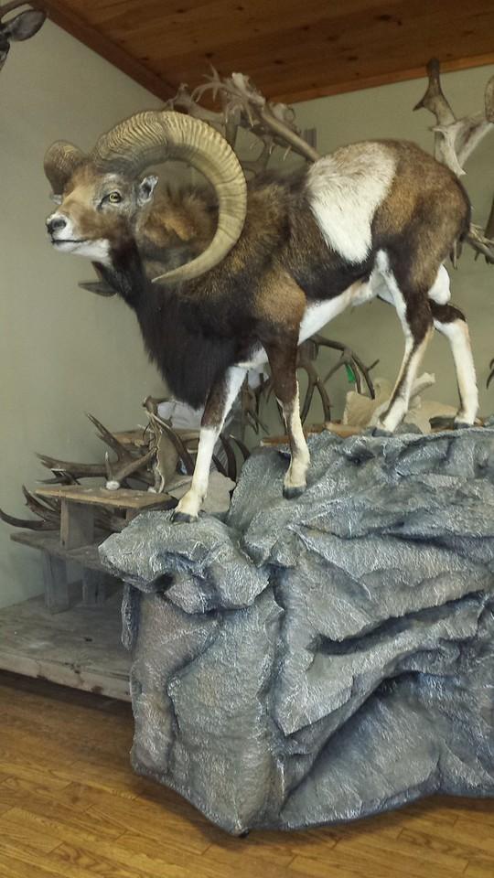 Lifesize Mouflon Sheep