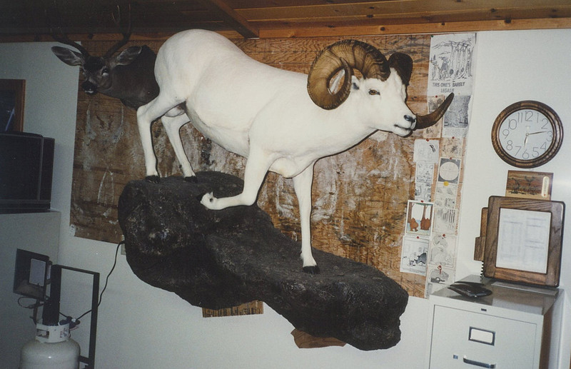 Life-size Alaska Dall Sheep Mount