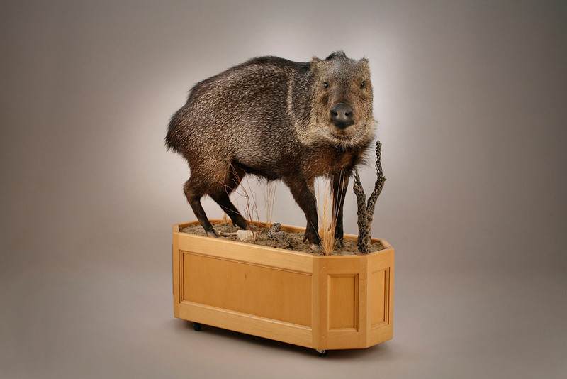 Life-size Javalina or Collared Peccary Mount