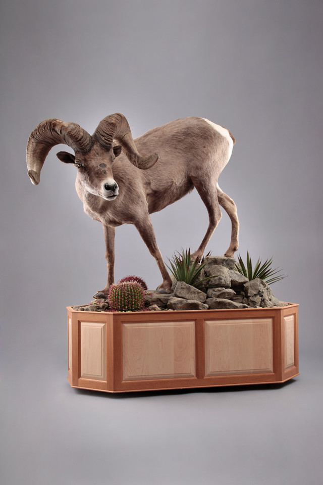 Life-size California Desert Bighorn Sheep Mount