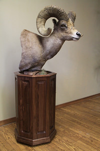 California Desert Bighorn Sheep Pedestal Mount   Anderson Taxidermy & Guide Service, Inc.  www.THEHUNTPRO.com