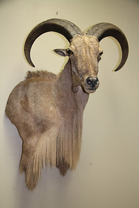 Aoudad Sheep Wall Pedestal Mount