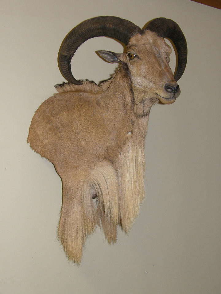 Wall Pedestal Shoulder Mount - Aoudad Sheep also known as a Barbary Sheep 