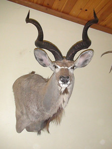 Kudu Shoulder Mount Anderson Taxidermy & Guide Service, Inc.  www.THEHUNTPRO.com