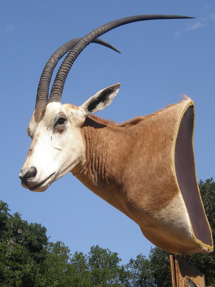 Simitar Oryx Pedestal Mount Anderson Taxidermy & Guide Service, Inc.  www.THEHUNTPRO.com