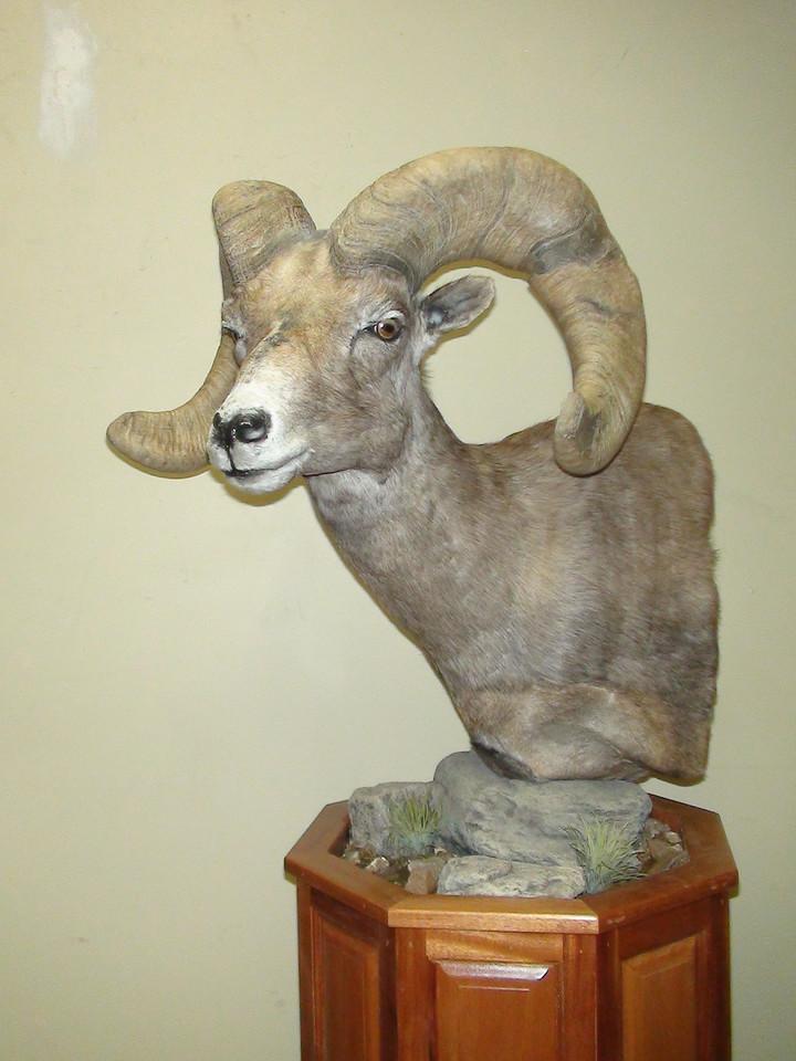 California Desert Bighorn Sheep Pedestal Mount  Anderson Taxidermy & Guide Service, Inc.  www.THEHUNTPRO.com