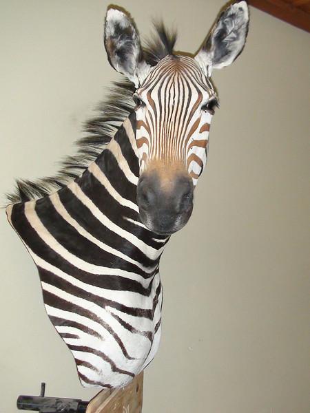 Zebra Pedestal Shoulder Mount Anderson Taxidermy & Guide Service, Inc.  www.THEHUNTPRO.com