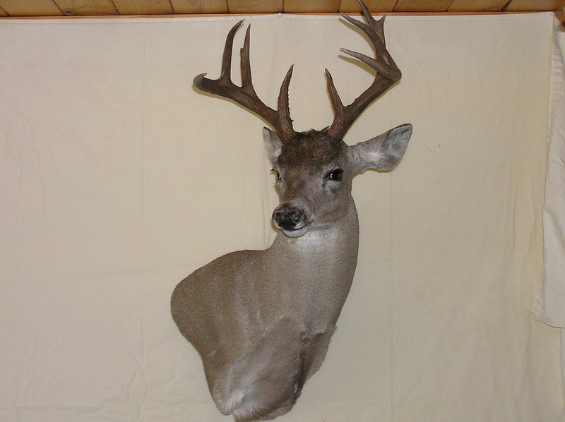 Coues Deer Wall Pedestal Mount 