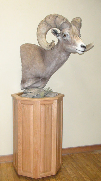 California Desert Bighorn Sheep Pedestal Mount 