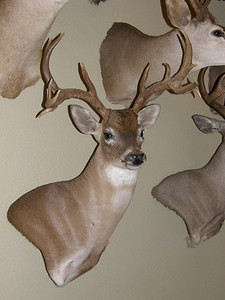 Whitetail Deer Wall Pedestal Mount  Anderson Taxidermy & Guide Service, Inc.  www.THEHUNTPRO.com