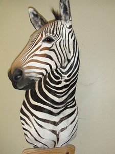 Zebra Pedestal Shoulder Mount  Anderson Taxidermy & Guide Service, Inc.  www.THEHUNTPRO.com