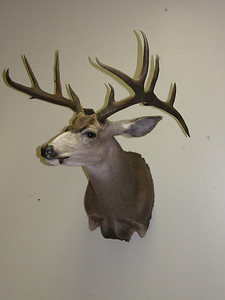 Mule Deer Shoulder Mount Anderson Taxidermy & Guide Service, Inc.  www.THEHUNTPRO.com