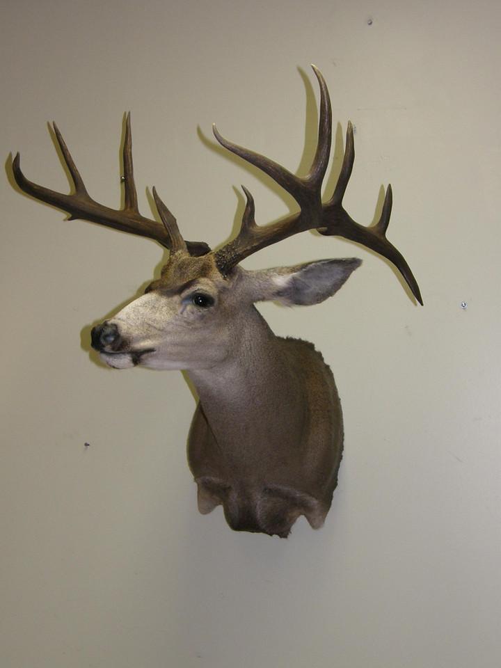 Mule Deer Shoulder Mount Anderson Taxidermy & Guide Service, Inc.  www.THEHUNTPRO.com