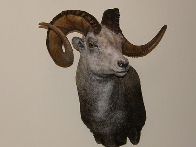 Stone Sheep Shoulder Mount Anderson Taxidermy & Guide Service, Inc.  www.THEHUNTPRO.com