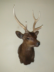 Sika Deer Shoulder Mount Anderson Taxidermy & Guide Service, Inc.  www.THEHUNTPRO.com