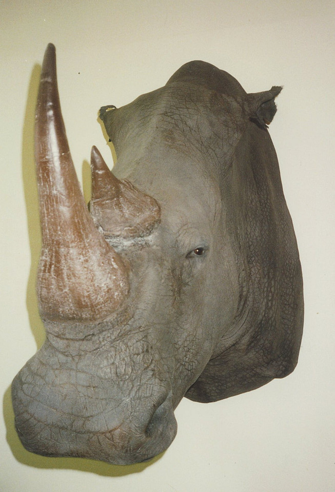 White Rhino Shoulder Mount