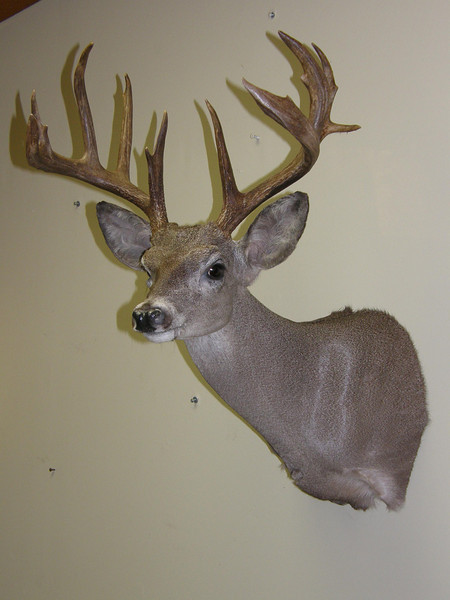 Mexico Coues Deer Shoulder Mount