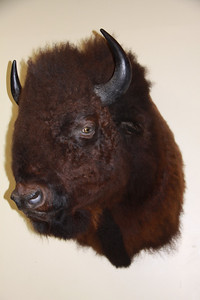 North American Bison Shoulder Mount Anderson Taxidermy & Guide Service, Inc.  www.THEHUNTPRO.com