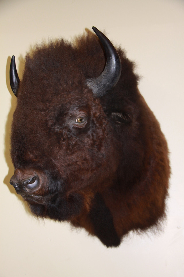 North American Bison Shoulder Mount