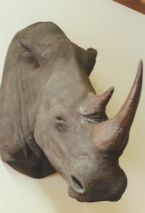 White Rhino Shoulder Mount Anderson Taxidermy & Guide Service, Inc.  www.THEHUNTPRO.com