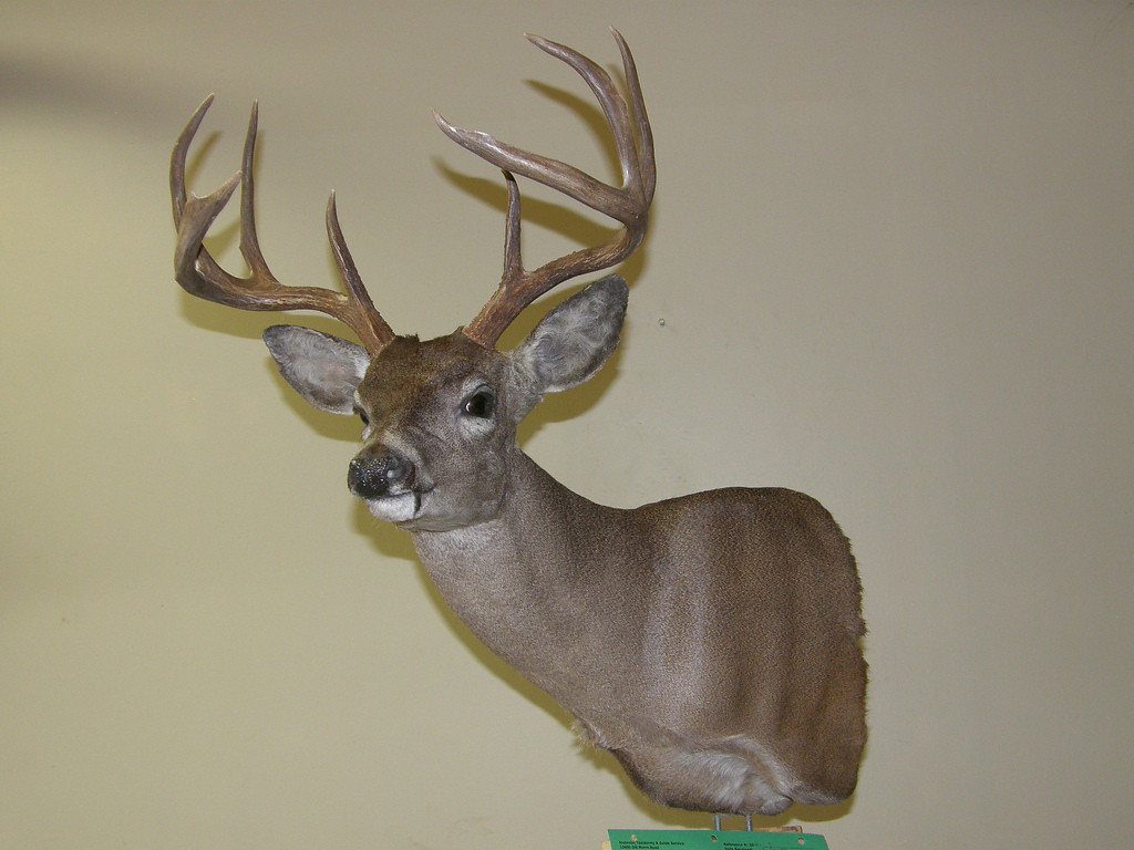 Mexico Coues Deer Shoulder Mount Anderson Taxidermy & Guide Service, Inc.  www.THEHUNTPRO.com