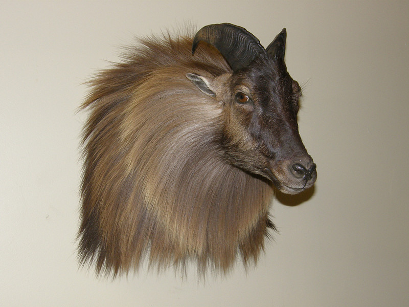 Himalayan Tahr Shoulder Mount